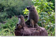 300px-Baboons_on_rock